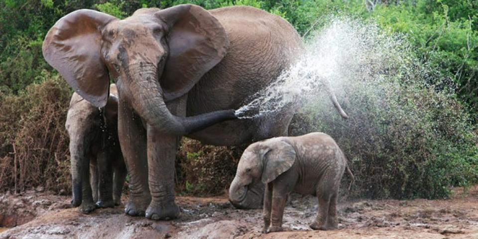 addo baby elephant
